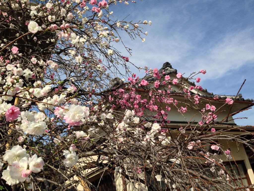 本法寺の桃