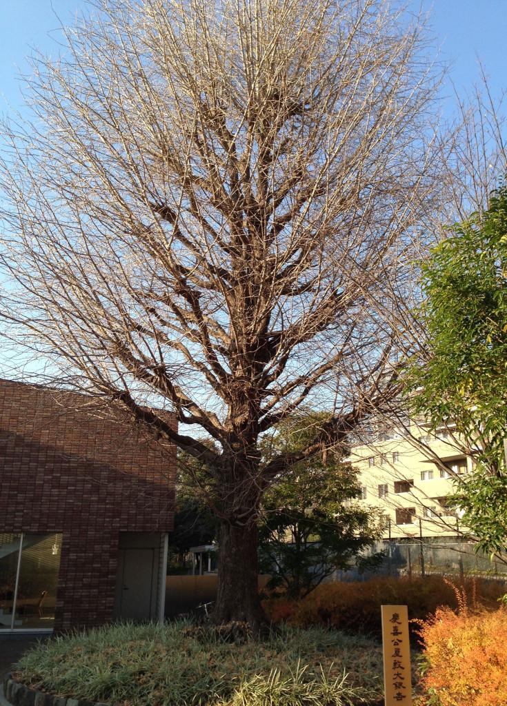 慶喜公邸にあった大イチョウの木