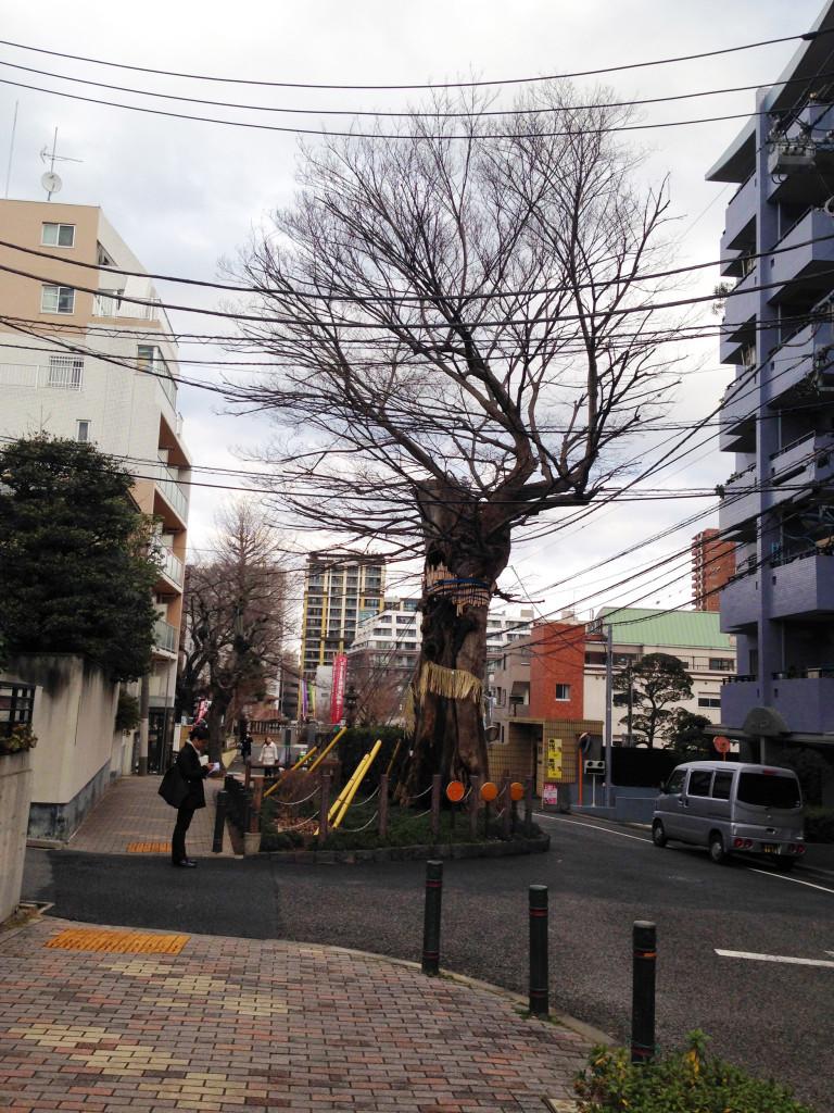 御神木の椋の木
