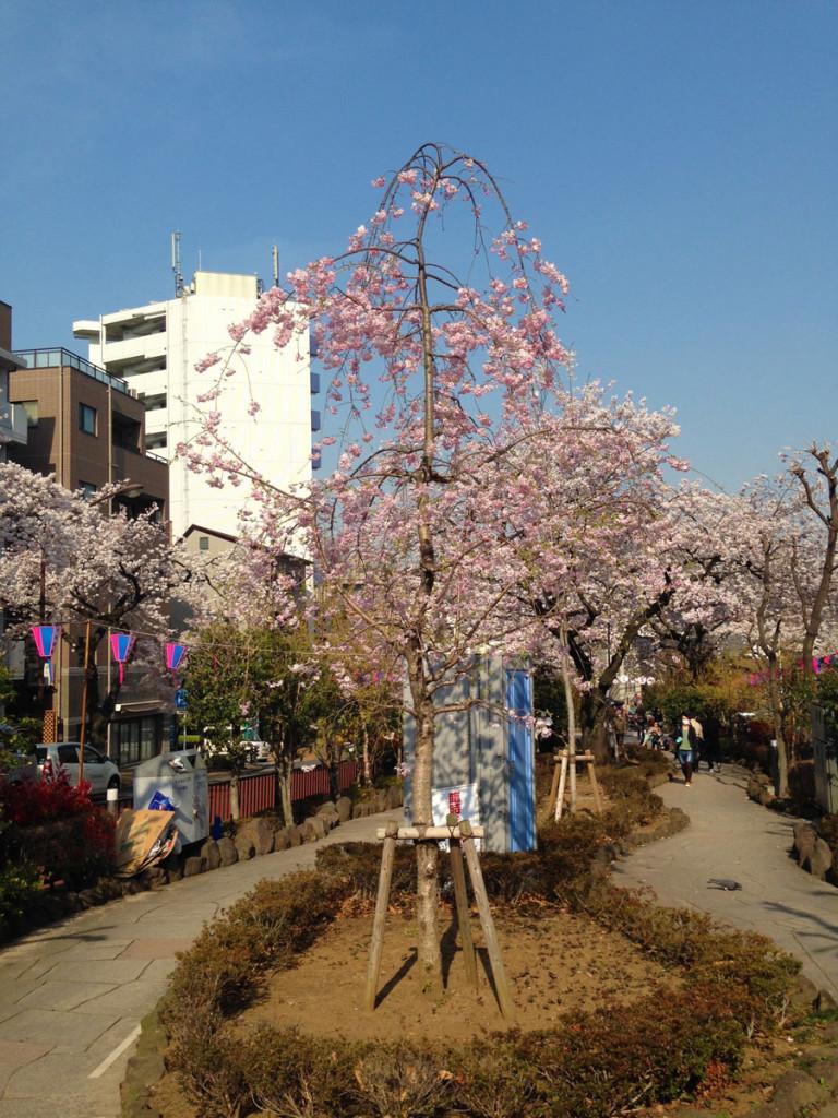 しだれ桜。何十年か経つとセンター取るくらい立派になりそうです。
