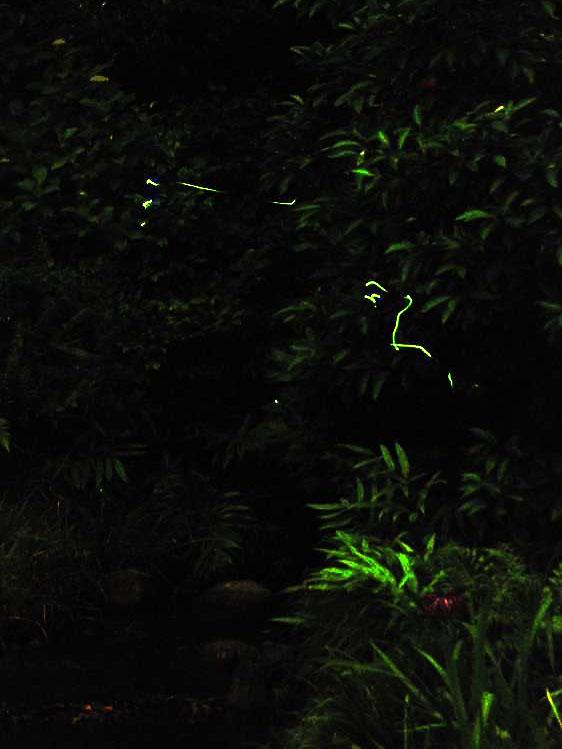 椿山荘のホタル:ISO感度最高で撮った蛍の光跡
