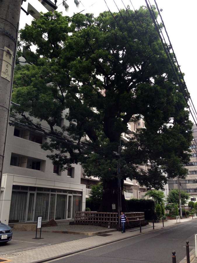 本郷弓町のクスノキ、楠の木