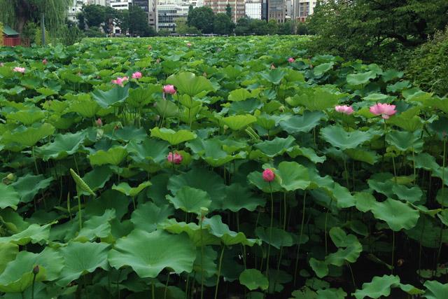 夏は蓮が鮮やかな不忍の池。