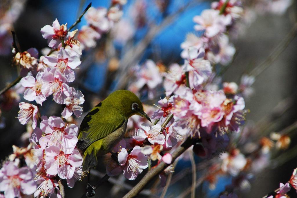 早咲きの梅とメジロ