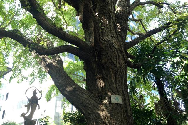 幼少期の芥川龍之介が木登りしたイチョウ