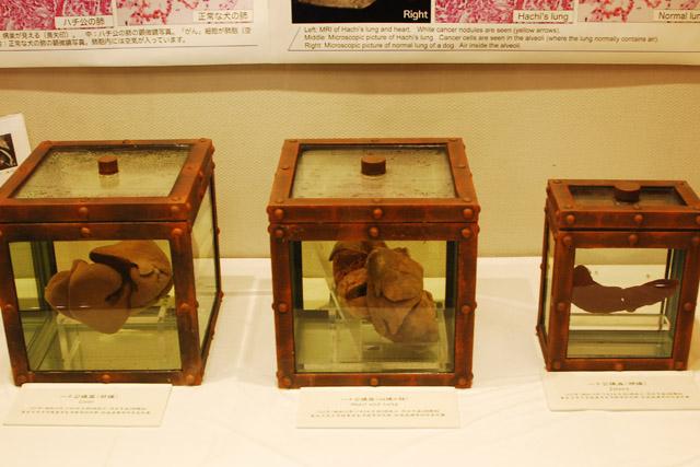 ハチ公の臓器標本