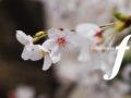 名曲の坂道「桜坂」